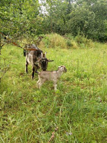 Продам козу высокоудойную