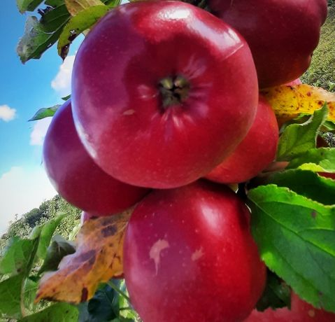 Яблука сортів: Флорина, Чемпіон, Хоней, Еліза, Пінова, Моді, Едера