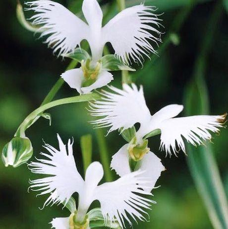 Sementes de Orquidea Branca