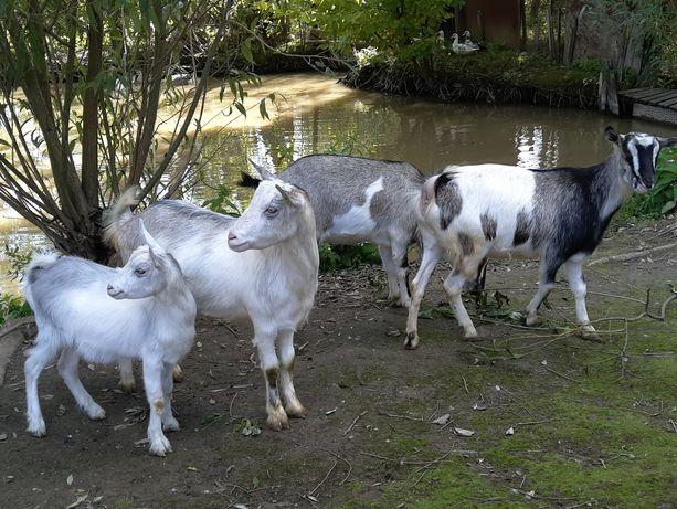 Кози молочних порід продам або обміняю на зерно.Доставка.