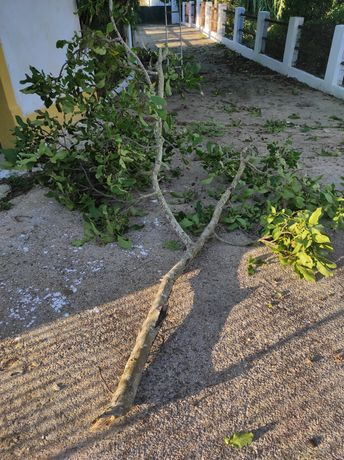 Madeira de Nogueira para Carpintaria Rama Cortada Dia 16/09
