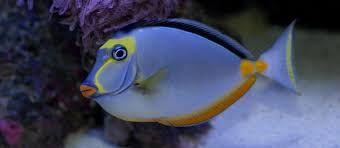 Akwarium morskie - Naso lituratus