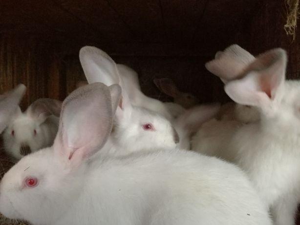 króliki dorosłe i młode