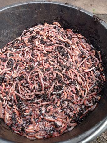Дендробена червь для рыбалки