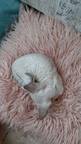 Шукаєм кавалера для кішки порода Девон Рекс