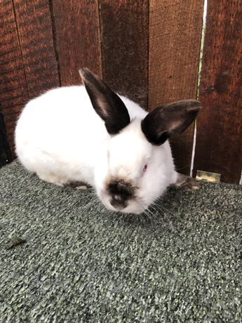 Кролики каліфорнія