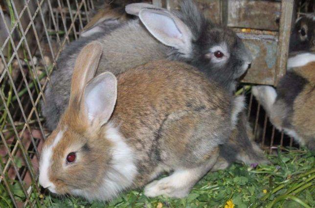 coelhos caseiros