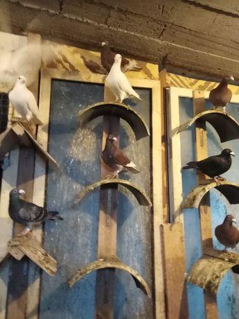 golebie staropolskie