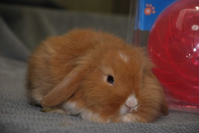 Цветные мини вислоушки крольчата, декоративный вислоухий