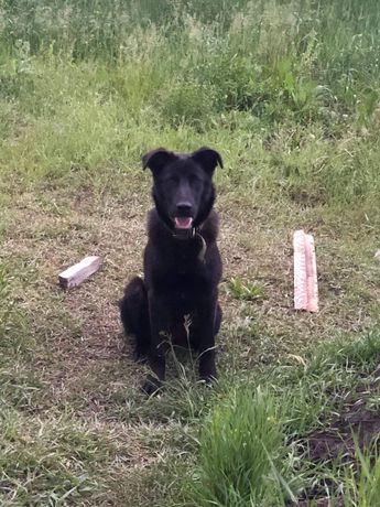 Отдам крупного щенка, 8 месяцев ,мальчик ,кастрирован