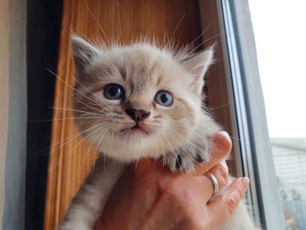 Продам тайского кота окрас необычный пятнистыц