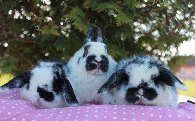 Mini Lop, karzełek rex, malutkie króliczki z rodowodem/ metryką