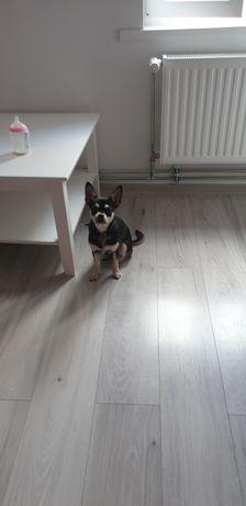 9 miesięczny Chihuahua