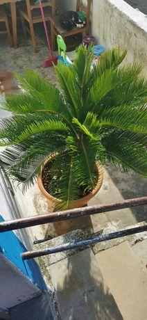 Palmeira nova com novos rebentos