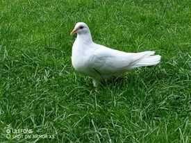 Римські голуби, голуби декоративні
