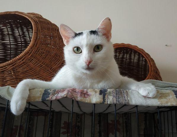 Białe kocie szczęście do adopcji