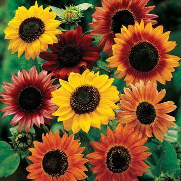 nasiona Słonecznik Ozdobny Kwiatowy MIX KOLORÓW 100 gram