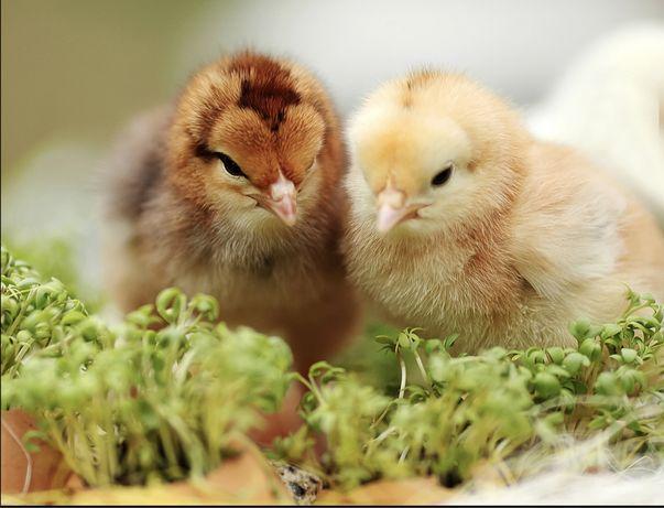 Цыплята суточные