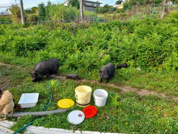Porcos vietnamitas casal e filhotes
