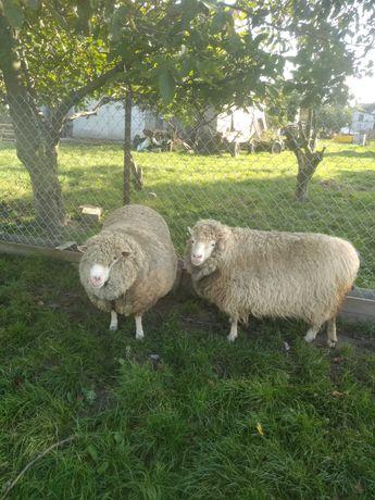 Sprzedam  owce...