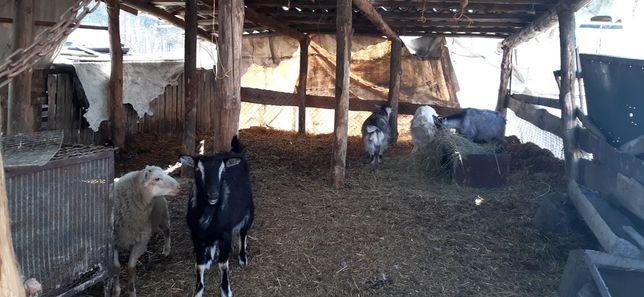 Продам коз и козлов