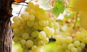 UVAS para vinho - Para quem gosta das castas de Palmela