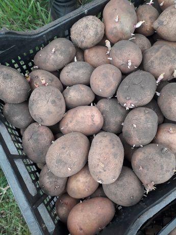 Картошка семенная