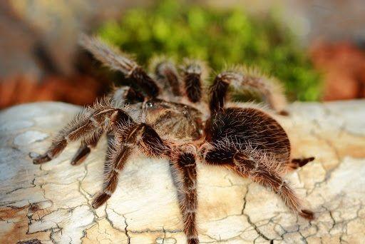 Brachypelma albopilosum малыши паука птицееда для новичков