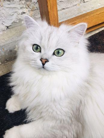 Британський кіт для вязки!