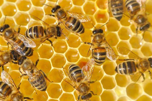 4 пчелопакета сильных пчел