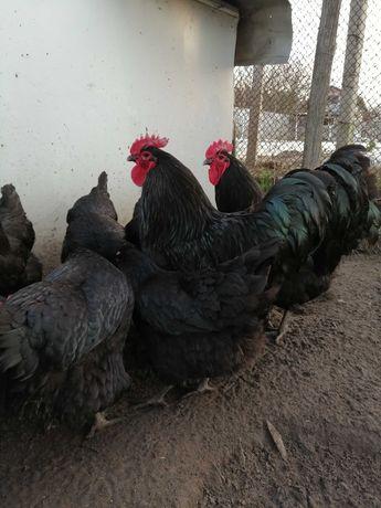 Качественные инкубационные яйца Джерсийских Гигантов!!!