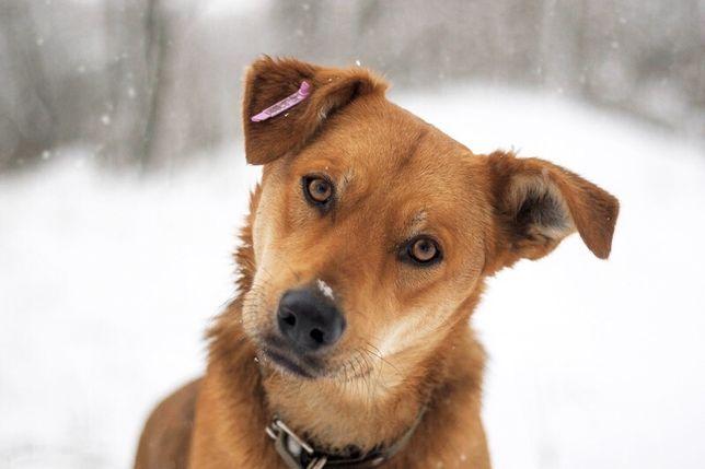 Огненный пес ищет дом! Собака, кобель в добрые руки!