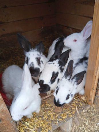 Sprzedam króliki samce samice likwidacja stada