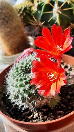 Ребуция, rebutia, детки кактуса с красными цветами
