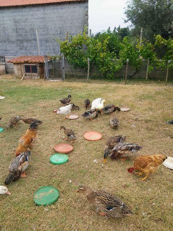 Patos Rouen, Corredores e Galinhas