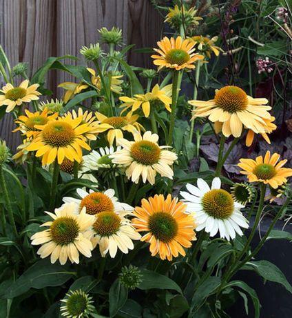 JEŻÓWKA Echinacea Mellow Yellow sadzonki w doniczkach !!
