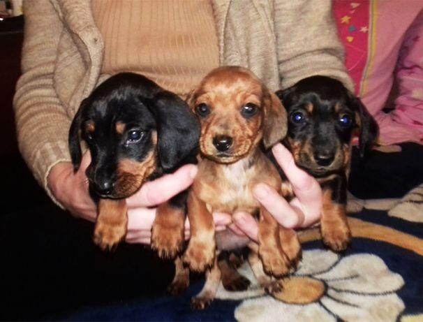 продам щенков гладкошерстной таксы