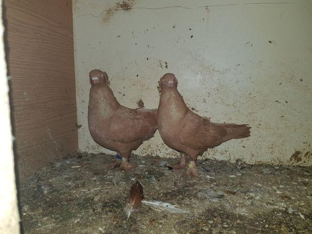 Gołębie wywrotki