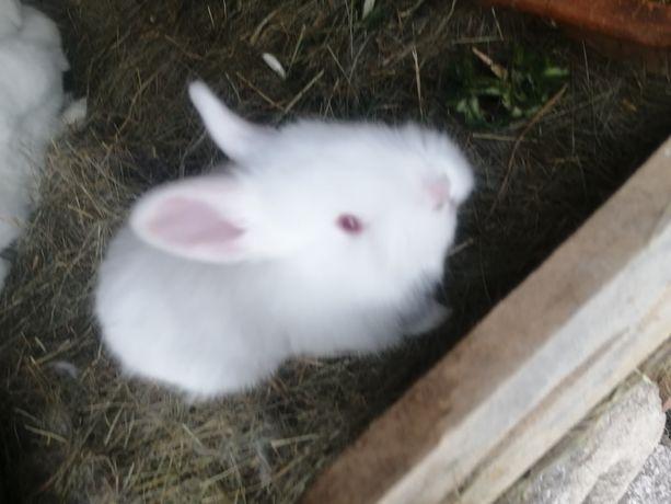 Sprzedam małe króliki nowozelinskie białe