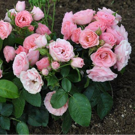 Саженцы роз, низкорослая флорибунда-патио Буке де Мари