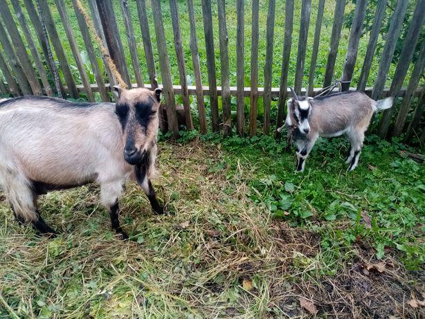 Продаються коза з козенятком