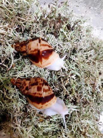 10 гривен Ахатина Ретикулята альбино Улитки, Равлики