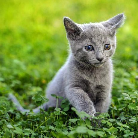 Ищут дом котята, руские голубые, 1.5 месяца, мальчики