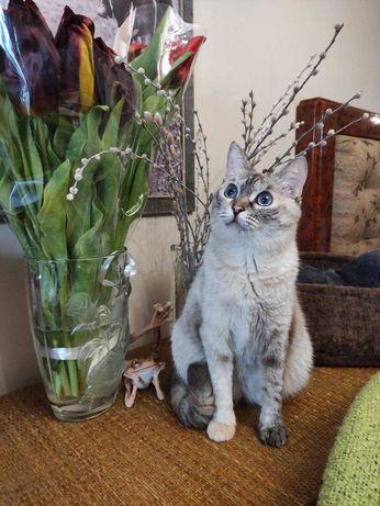 Неимоверная красавица кошечка Симочка (1 год) Тайская порода