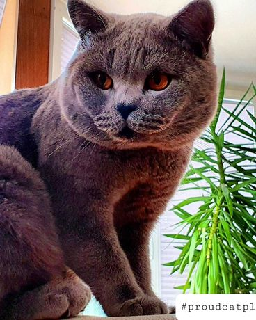 Kot brytyjski kocięta brytyjskie kocur kotka reproduktor