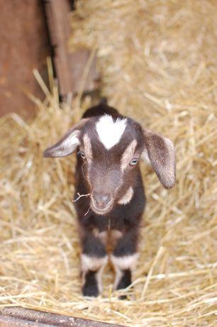 Козлик - отец 100 проц. альпийский козел, коза 80 проц. нубийка.