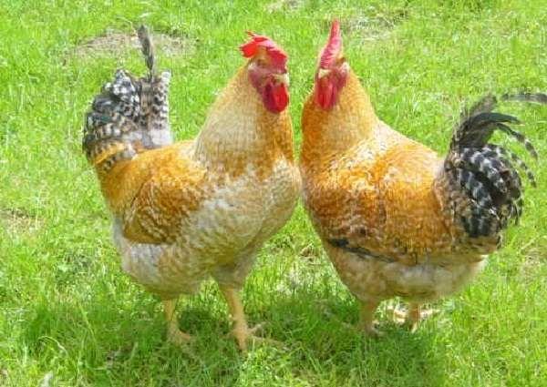 яйца для инкубации кур несушек