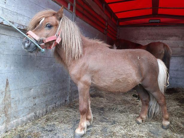 Kucyk mini pony wałach