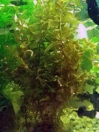 Rotala - Rośliny Akwariowe