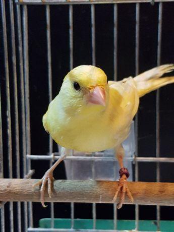 Kanarek Samiec Nr 14 Wysyłam ptaki kurierem